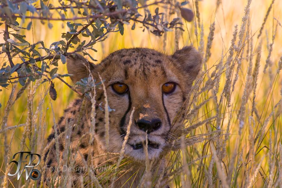 Geparden auf der Düsternbrook Farm in Namibia