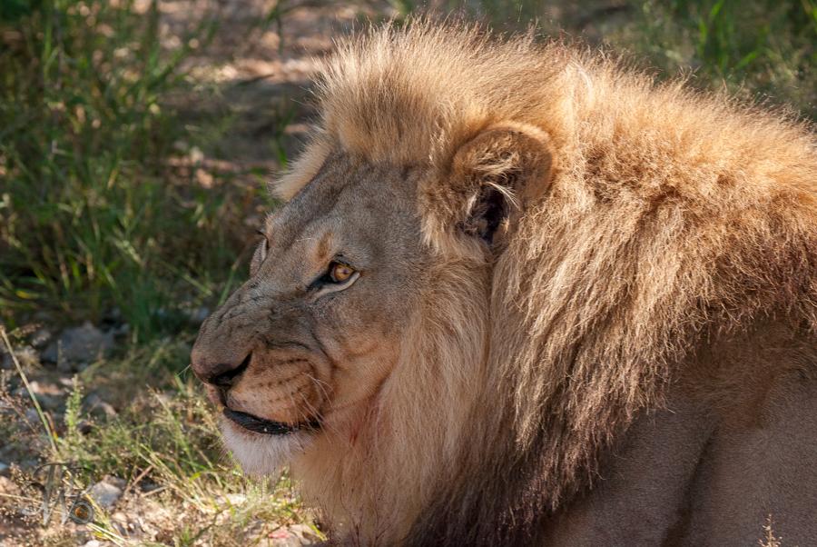 Löwen auf der Aloe Grove Farm in Namibia